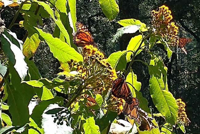 Tour a la Mariposa Monarca , salidas desde Morelia